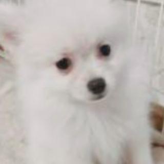 真っ白い 人懐っこいポメラニアン子犬5ヶ月