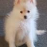 真っ白い 人懐っこいポメラニアン子犬5ヶ月 サムネイル2