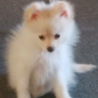真っ白い 人懐っこいポメラニアン子犬5ヶ月 サムネイル3