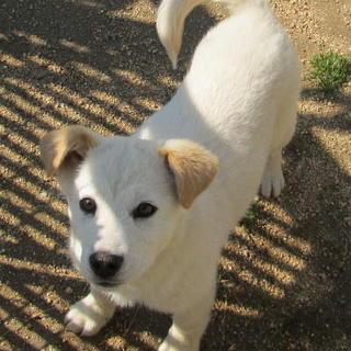人が大好きな甘えん坊くん・たれ耳の可愛い子犬です。