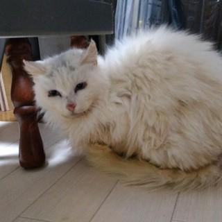 人馴れしていないペルシャ猫♀・7~8歳