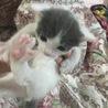 【現在お見合い待ち】オレオとだいず☆兄弟子猫 サムネイル2