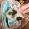 【現在お見合い待ち】オレオとだいず☆兄弟子猫 サムネイル5