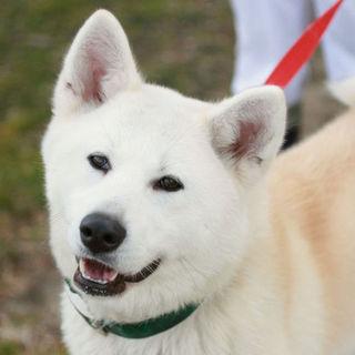 甘えん坊の秋田犬