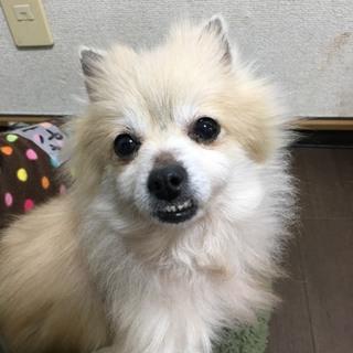 まり★アンダーな歯並びがかわいいポメラニアン♀★