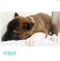 2/23朝まで!!子犬たちの家族になって下さい!!