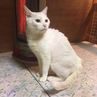 少し気難しい綺麗な青い目の真っ白シニア猫ちゃん