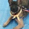 4~5か月ぐらいのキュートな仔犬ナナ トライアル