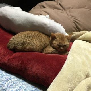 生後5ヶ月の元気な立耳スコティッシュの子猫!