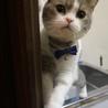 スタッフ猫 スコティッシュ ルイくん