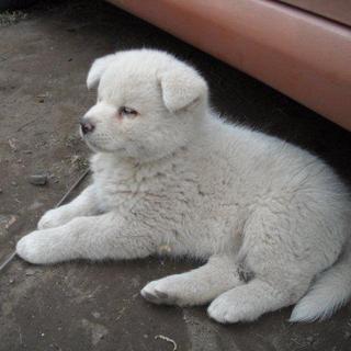 秋田犬の子犬です