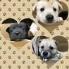 ボラさん預りの残りの3匹兄弟★白、黒、グレー!
