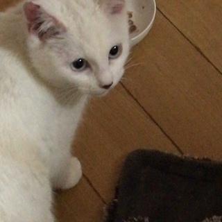 白の子猫かわいいです