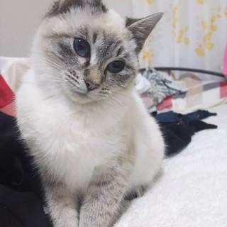 ブルーの瞳が魅力!甘えん坊なシャムトラの女の子