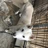紀州犬(血統書付)大至急‼️里親募集‼️ サムネイル2