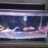 可愛らしい金魚たちの引き取り手を募集します。