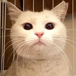 まんまるな顔と目がかわいい綿あめ(わたあめ)ちゃん