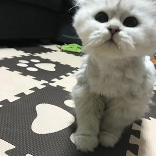 ペルシャ猫の女の子!(3歳)