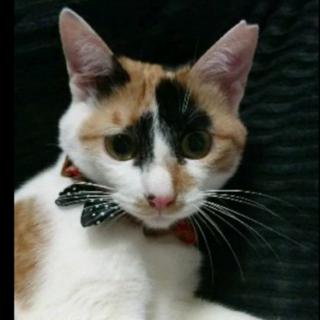 三毛猫レモンちゃん、宜しくお願いします!