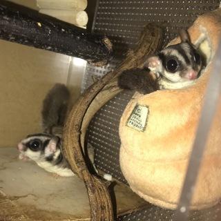 フクロモモンガのメス2匹の里親募集