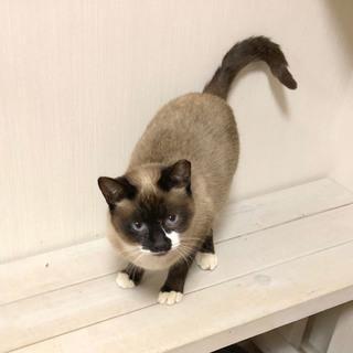 シャムMIXで白ソックスが可愛い母猫・リリコ