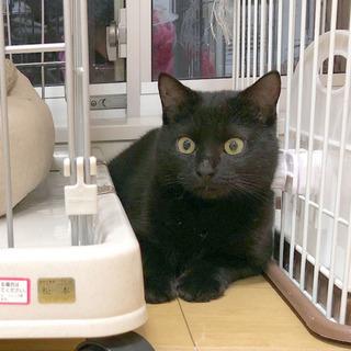 触ればわかる上質な毛並み・癒やしの黒猫/キース君