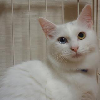 奇麗な白猫の女の子