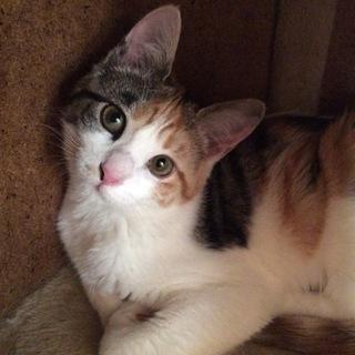 小さいのに生意気で可愛い三毛猫仔猫