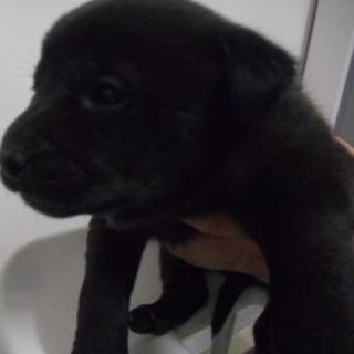 里親様を待っています。子犬♀黒