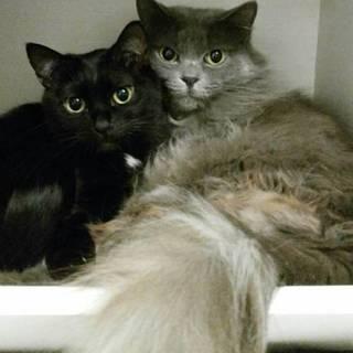 美しい仲良し母娘 グレー長毛と丸顔黒子猫