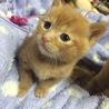 ♡生後2ヶ月の茶トラの子猫♡