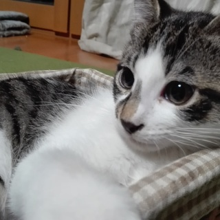子猫☆キジトラ白☆甘えん坊