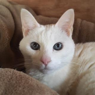 綺麗な青い目の真っ白シニア猫ちゃん
