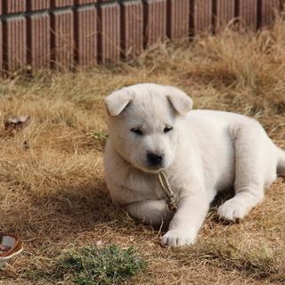 紀州犬 ショータイプの美犬 オス 2か月