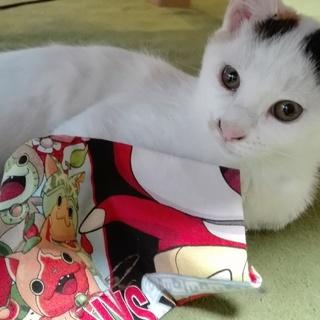 子猫☆三毛猫☆体は白に金茶ブチ☆尾は金茶の縞