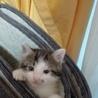 子猫☆サバトラ?キジトラ?☆2ヶ月半☆モフモフ