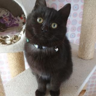 千葉県白井市/黒猫の男の子です