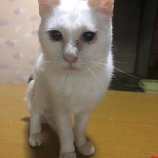 綺麗で優しい白猫の家族になって下さい。