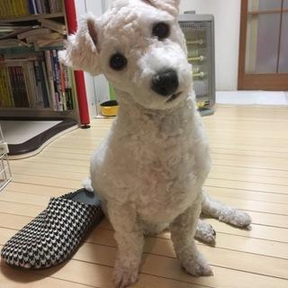 ビションフリーゼの子犬の里親探しています。
