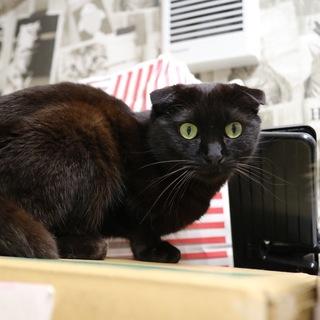 【多頭崩壊】折れ耳黒猫 あんこ♀
