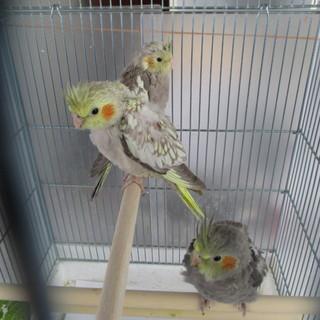 オカメインコ(生後2か月)3羽の里親募集