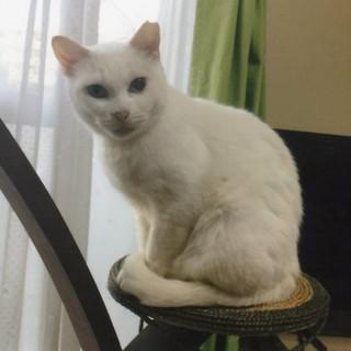 穏やかな白猫ちゃん