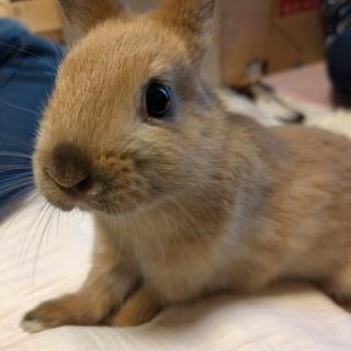 トートイズシェルのネザーの子ウサギの里親募集!