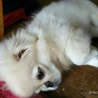 ペキニーズ仔犬