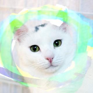 1歳♡超美少年!丸顔丸い目の白猫ポチ