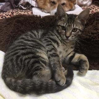 元気いっぱい活発なキジ猫「アキにゃん」