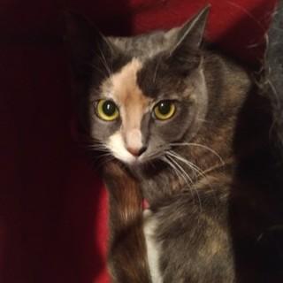 珍しいグレーのサビ・三毛柄の美猫