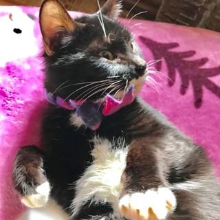 性格、二重丸◎! 究極の癒しネコ、黒白のピッピ君♪