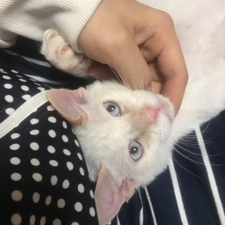 生後約4ヶ月の子猫くん!ブルーのお目目で美少年!