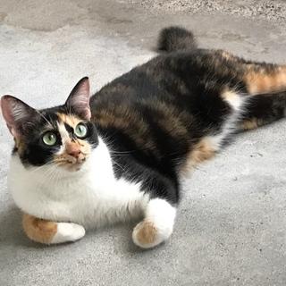 避妊済!綺麗な顔立ちの三毛猫です